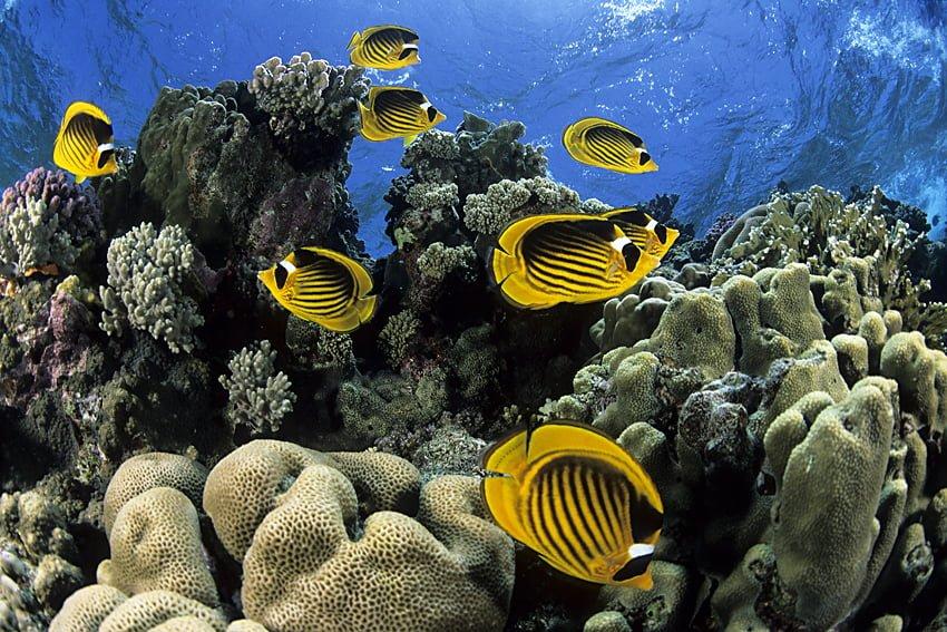 striped butterflyfish, Chaetodon fasciatus, Egypt, Red Sea