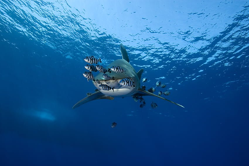 oceanic whitetip shark, Carcharhinus longimanus, accompanied by pilot fishes, Noucrates ductor, Elphistone reef, Egypt, Red Sea
