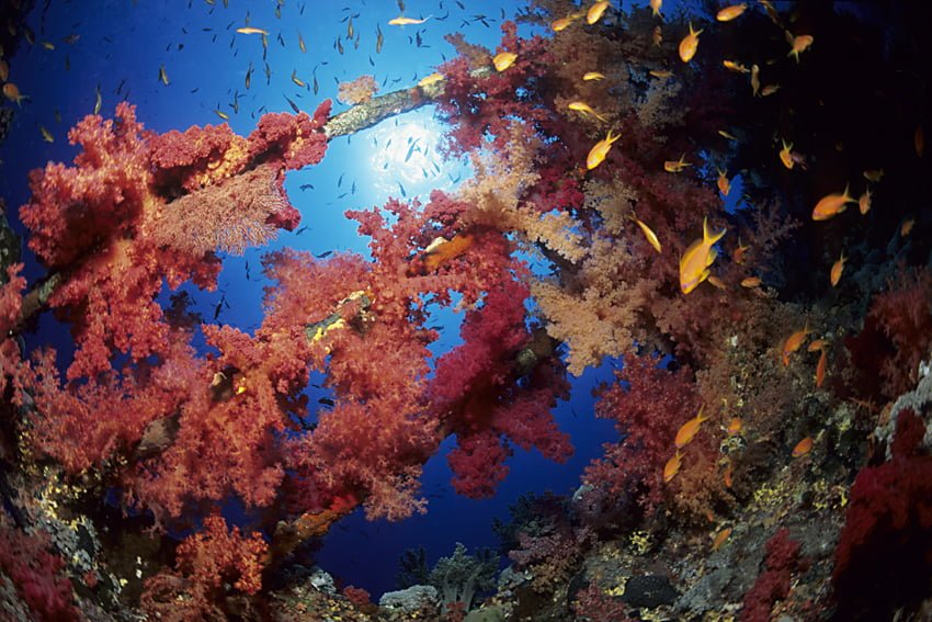 Numidia wreck with soft coral, Dendronephthya sp., Brother's Islands, Egypt, Red Sea