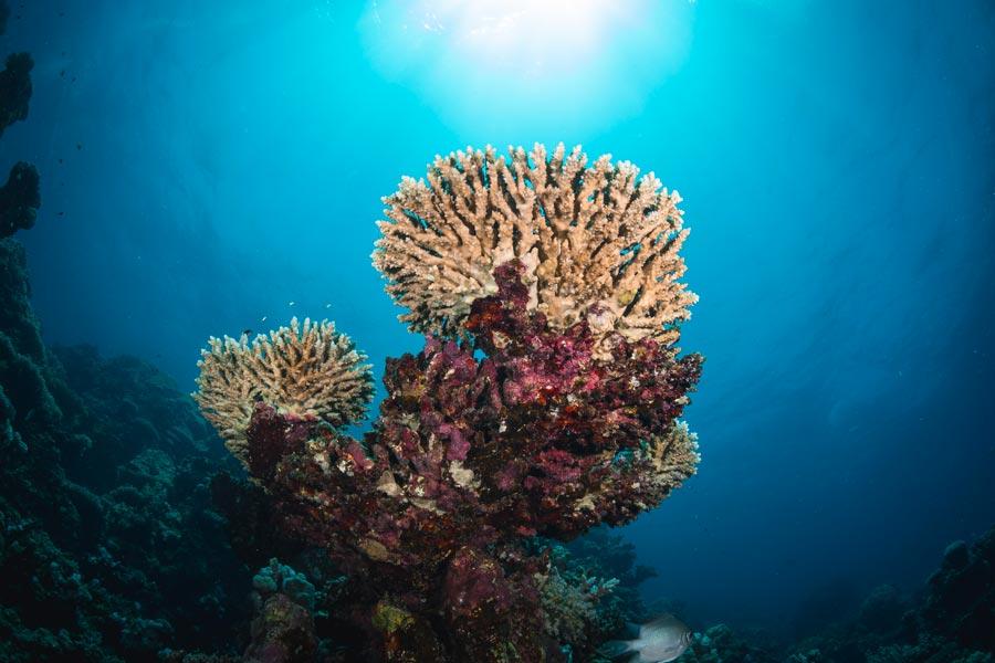 © Phillip Zettel, Mangrove Bay Koralle